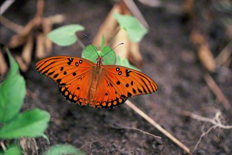 Gulf Fritillary Butterfly photographed at Savannah National Wildlife Refuge, North Carolina