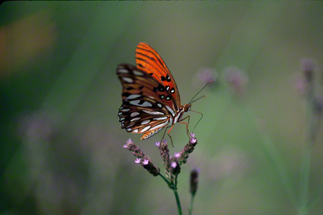 Gulf Fritillary photographed at Savannah National Wildlife Refuge, North Carolina