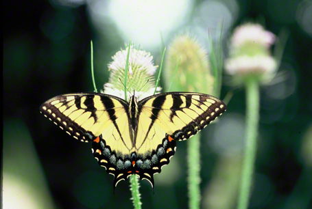 Tiger Swallowtail Butterfly photographed at Raccoon Creek State Park, PA