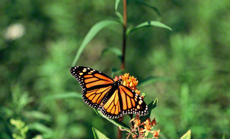 Monarch butterfly photographed at Raccoon Creek State Park, PA