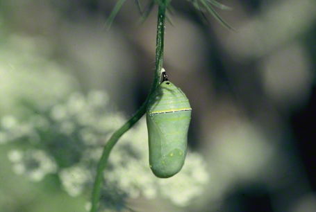 Monarch butterfly chrysalis photographed at Raccoon Creek State Park, PA