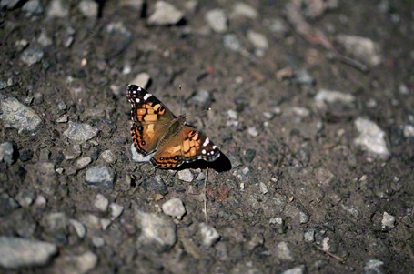 American painted lady butterfly photographed at Raccoon Creek State Park, PA