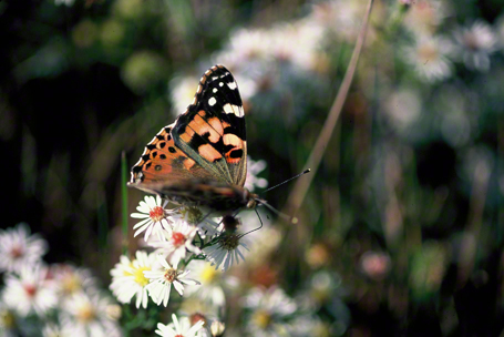 American painted lady butterfly photographed at Black Water National Wildlife Refuge, MD
