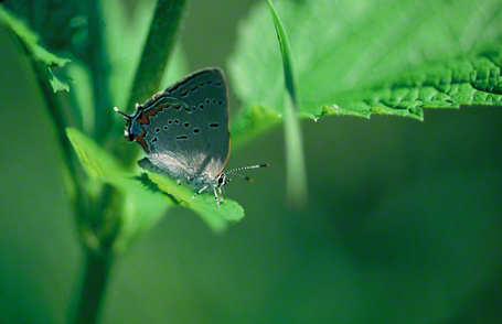 Acadian hairstreak butterfly photographed at Toronto, Canada