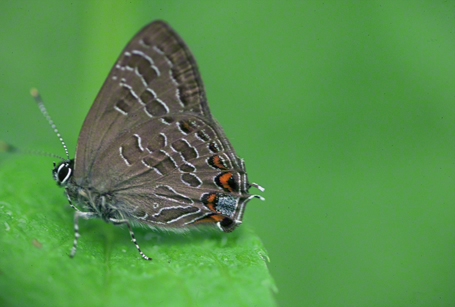 Striped hairstreak butterfly photographed at Powdermill Refuge, PA