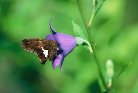 Silver spotted skipper butterfly photographed at Phipps Conservatory Outdoor Gardens, Pittsburgh, PA