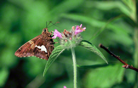 Silver spotted skipper butterfly photographed at Raccoon Creek State Park, PA