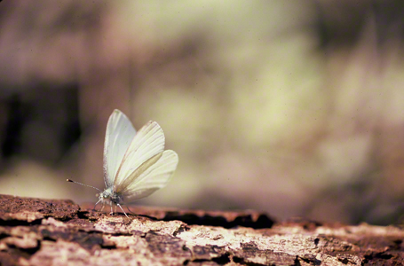 West Virginia white butterfly photographed at Raccoon Creek State Park, PA