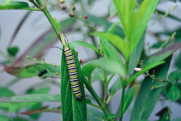 Monarch butterfly caterpillar photographed at Raccoon Creek State Park, PA