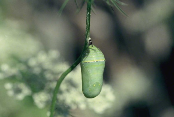 Monarch butterfly chrysalis photographed by Jeff Zablow at Raccoon Creek State Park, PA