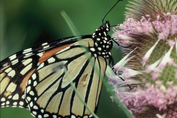Monarch butterfly photographed by Jeff Zablow at Raccoon Creek State Park, PA
