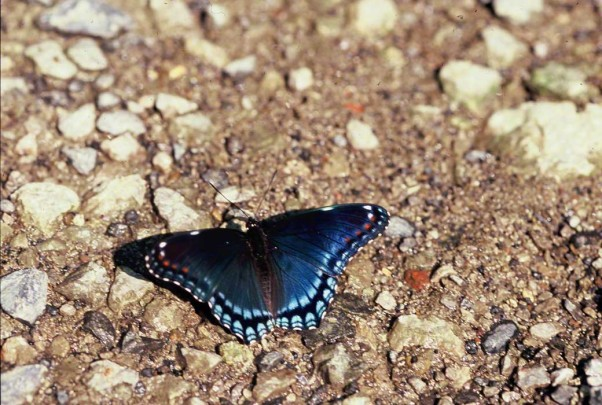Red-spotted purple butterfly photographed at Raccoon Creek State Park, PA
