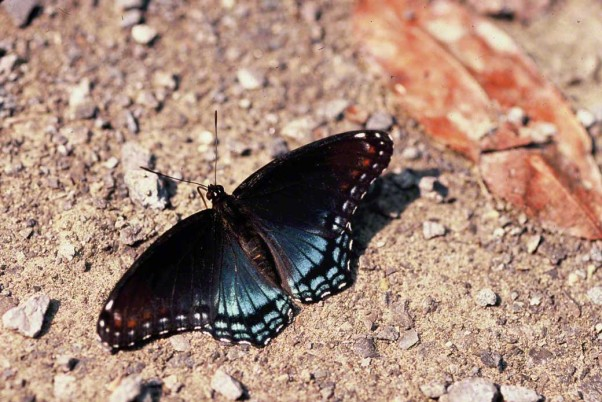 Red Spotted Purple butterfly photographed by Jef Zablow at Raccoon Creek State Park