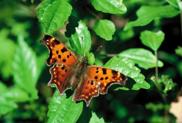 Gray comma butterfly photographed at Raccoon Creek State Park, PA
