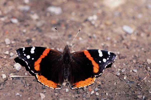 Red Admiral butterfly photographed by Jeff Zablow at Raccoon Creek State Park, PA. Jeff blogs about the art and science of butterflies at http://www.wingedbeauty.com