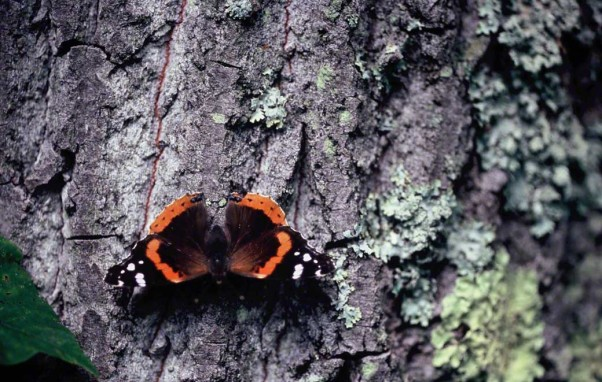 Red admiral butterfly photographed at Raccoon Creek State Park, PA