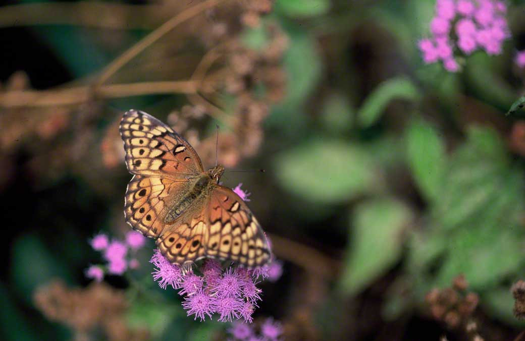 Variegated fritillary butterfly photographed at Black Water National Wildlife Refuge, MD