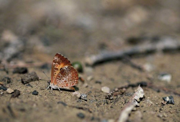 Harvester Butterfly photographed by Jeff Zablow on Nichol Road Trail, Raccoon Creek State Park in Pennsylvania
