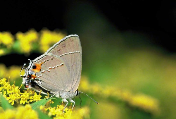 Gray hairstreak butterfly photographed at Raccoon Creek State Park, PA