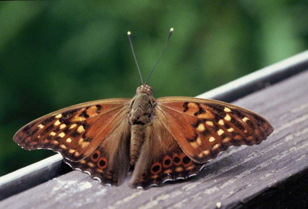 Tawny Hackberry butterfly photographed by Jeff Zablow at Raccoon Creek State Park, PA