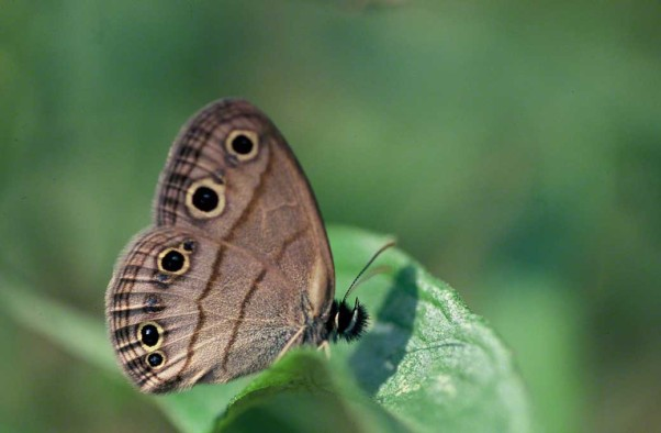 Little wood satyr butterfly photographed at Raccoon Creek State Park, PA