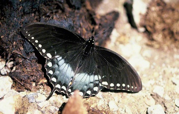 Spicebush swallowtail butterfly photographed at Raccoon Creek State Park, PA