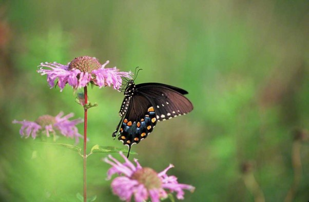 Eastern black swallowtail butterfly photographed at Raccoon Creek State Park, PA