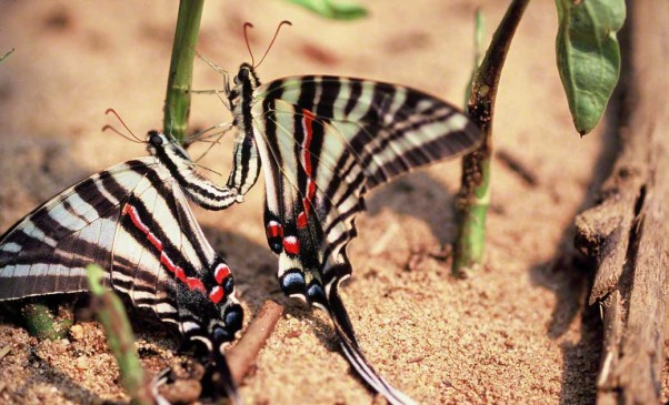 Zebra swallowtail butterflies photographed by Jeff Zablow at Mason's Neck State Park, VA. Jeff blogs about the art and science of butterflies at http://www.wingedbeauty.com