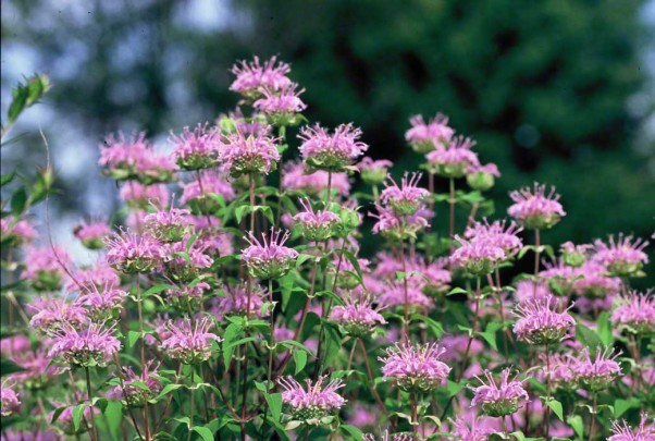 Monarda wildflowers photographed at Raccoon Creek State Park, PA