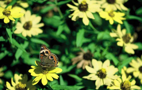 Buckeye butterfly photographed at Phipps Conservatory Outdoor Gardens, Pittsburgh, PA