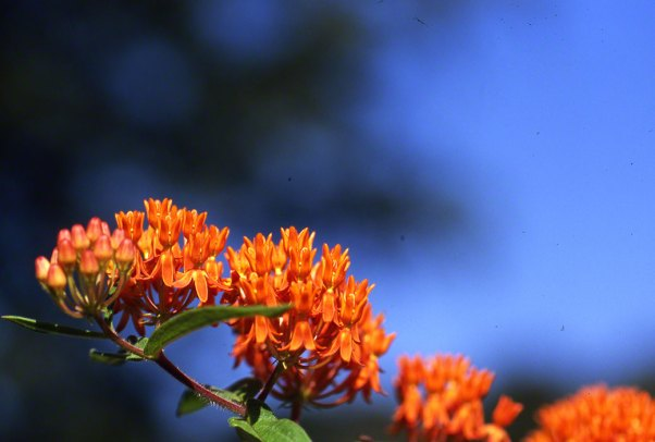 Butterflyweed Wildflowers at Raccoon Creek State Park