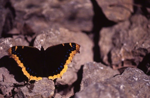 Mourning Cloak Butterfly photographed by Jeff Zablow at Raccoon Creek State Park