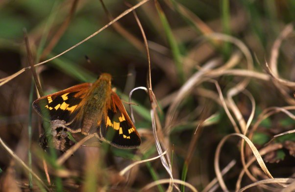 Leonard's Skipper Butterfly photographed by Jeff Zablow at Raccoon Creek State Park