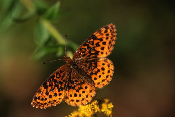 Meadow Fritillary Butterfly at Raccoon Creek State Park
