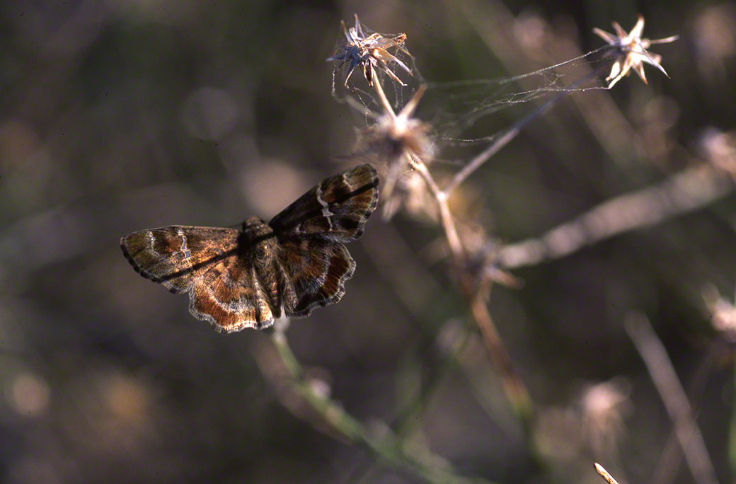 Arizona Powdered Skipper Butterfly at White Tank Mountains, AZ