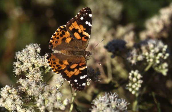 Painted Lady Butterfly at Raccoon Creek State Park