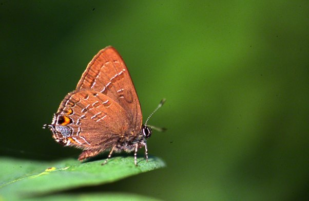 Banded Hairstreak Butterfly at Raccoon Creek State Park
