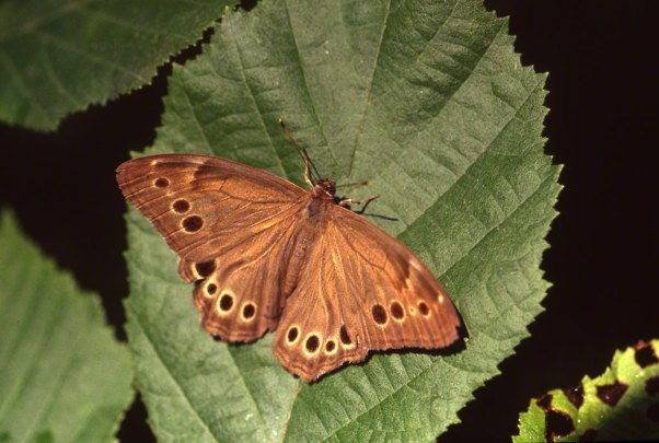 Northern Pearly Eye Butterfly at Raccoon Creek State Park