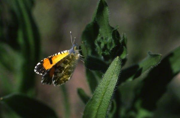 Desert Orangetip Butterfly at White Tank Mountains, AZ