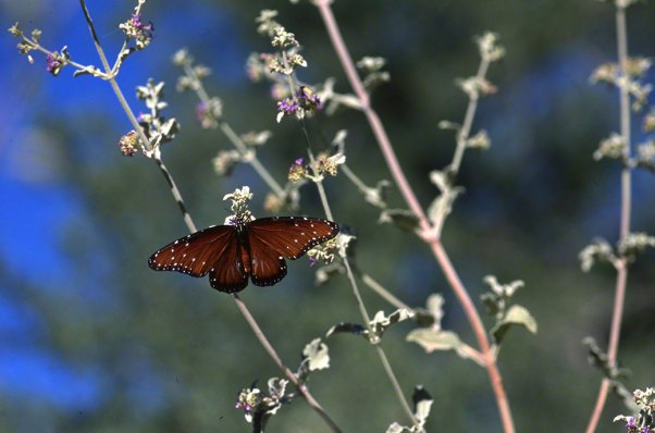 Queen Butterfly photographed by Jeff Zablow at White Tank Mountains, AZ. Jeff blogs about the art and science of butterflies at http://www.wingedbeauty.com