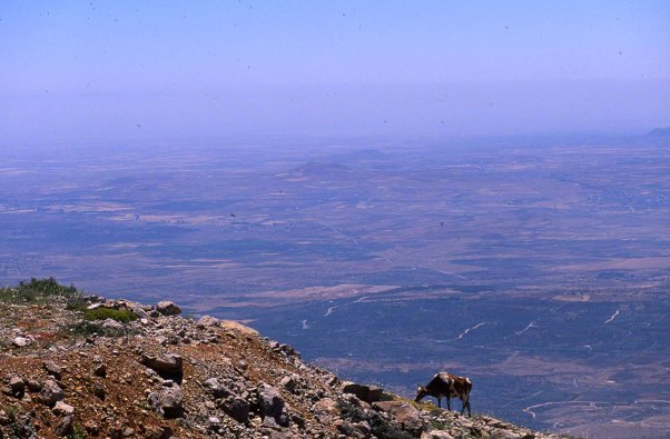 Cow Grazing on Mt. Hermon photographed by Jeff Zablow at Mt. Hermon, Israel