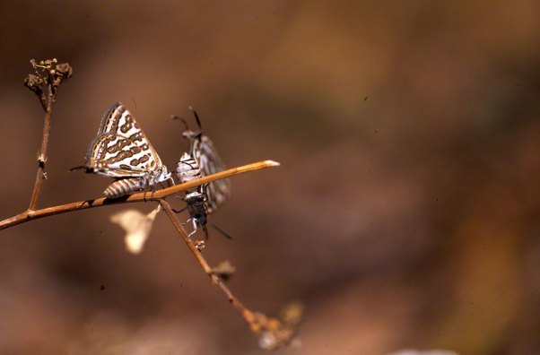 Tawny Silver-Line Butterfly at Mt. Hermon, Israel