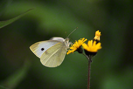 Cabbage White Butterfly at Raccoon Creek State Park