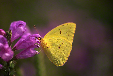 Cloudless Sulphur Butterfly at Blackwater National Wildlife Refuge, MD