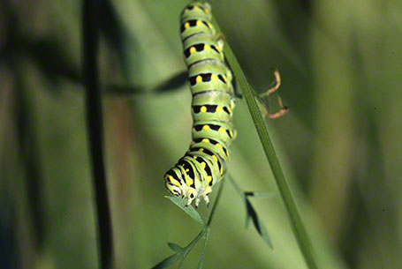 Eastern Black Swallowtail Caterpillar at Raccoon Creek State Park