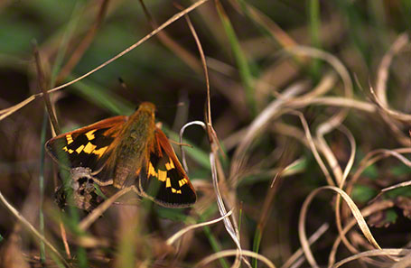 Leonard's Skipper Butterfly at Raccoon Creek State Park