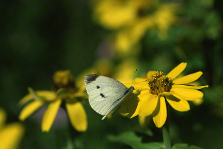 Cabbage White Butterfly at Phipps Conservatory, Pittsburgh