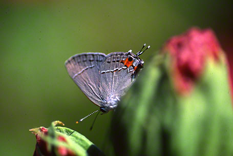 Gray Hairstreak Butterfly at Phipps Conservatory, Pittsburgh