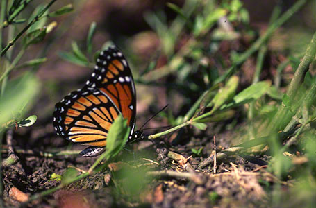 Viceroy Butterfly at Leroy Percy State Park, MS