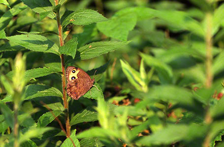 Wood Nymph Butterfly at Raccoon Creek State Park